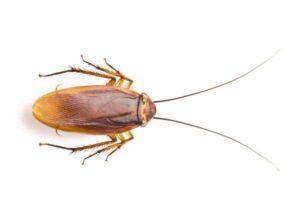 Cockroach Control in Pernambut