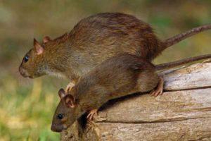 Rat control service in Gudiyatham