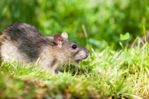Rat control service in Ambur